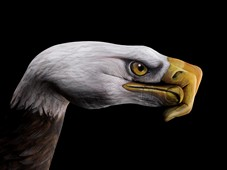 Bald Eagle on black Hand Painting | Guido Daniele