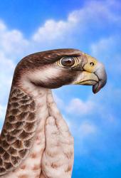 Pilgrim Hawk
