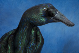 Indian Black Duck Hand Painting | Guido Daniele