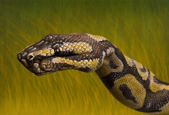 Python Royal - Ph. Guido Daniele