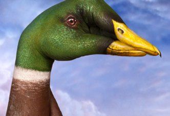Wild Duck - Ph. Guido Daniele